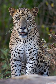 Leopard, Yala NP - Sri Lanka Beautiful wildlife of Sri Lanka !