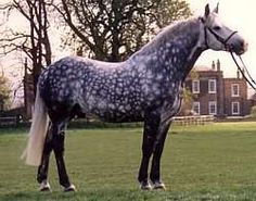 irish draught horse dapple grey - Google Search
