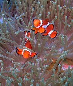 Ocellaris Clownfish (Amphiprion ocellaris). Often lives in association with the sea anemone Heteractis magnifica, using them for shelter and protection. The clownfish will use the anemone's stinging tentacles for protection, and in turn, the clownfish's fecal matter provides nutrients for the anemone. In addition, some clownfish will feed its anemone, further proving that this symbiosis is in fact mutualism.