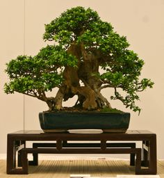 World Bonsai Convention 2009 - A Photo Essay Delonix Regia, Bonsai Garden, Bonsai Art, Bonsai Styles, Indoor Bonsai, Bamboo Plants, Potted Trees, Ficus, Small Trees