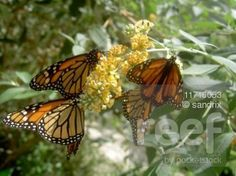 File # 11716053 butterflies © sandrix / Pocketstock.com