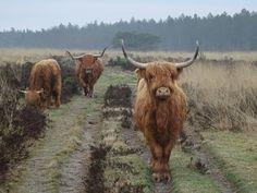 Schotse Hooglanders op de Veluwezoom