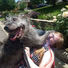 People Share Hilarious Pics Of Their Irish Wolfhounds And They Are Crazily Large Cute Dog Pictures, Funny Animal Pictures, Funny Animals, Cute Puppies, Cute Dogs, Dog Couch, Strange Photos, Crazy Photos, Big Friends