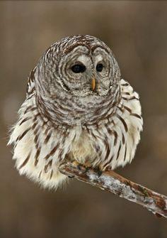 barred owl        (photo by sheiley myke)