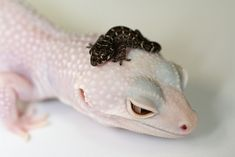 A juvenile Carrot-tail Viper Gecko (Teratolepis fasciata) sitting on the head of a Blizzard Leopard Lepord Gecko, Leopard Gecko Cute, Cute Gecko, Leopard Gecko Habitat, Les Reptiles, Cute Reptiles, Reptiles And Amphibians, Cute Little Animals, Cute Funny Animals