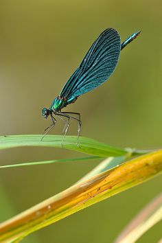 Calopteryx virgo--Beautiful Demoiselle