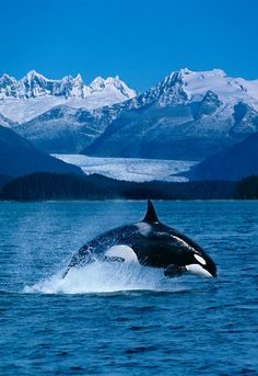 Jumping Orca | Photo: Dave Fleetham - Printscapes with Pin-It-Button on #fineartamerica