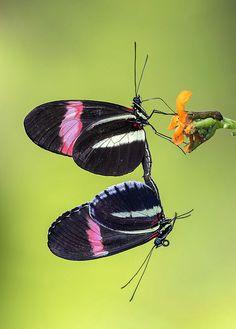 outdoormagic: multitâche!  Heliconius Erato- Rouge Postman papillon nectar tout en accouplement sur Psiguria fleur umbrosa, Ailes des Tropiques, Fairchild Tropical Botanic Garden.  par Pedro Lastra
