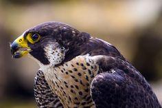 Peregrine Falcon, Art Plastique, Air Force, Birds, Amazing, Animals, Rpg, Animal Totems, Animales