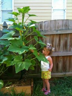 to Grow Zucchini Vertically Growing squash and zucchini plants vertically. Great for a small space!Growing squash and zucchini plants vertically. Great for a small space! Growing Zucchini, Growing Squash, Zucchini Plants, Growing Veggies, Growing Plants, How To Grow Zucchini, Herb Garden, Lawn And Garden, Garden Plants