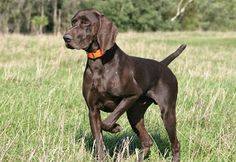 German Shorthaired Pointer : Consejo N°11