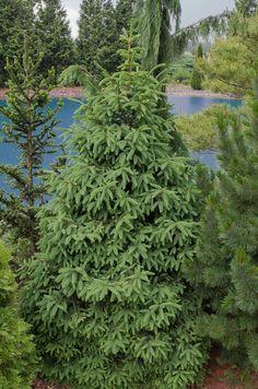 Picea abies, metsäkuusi