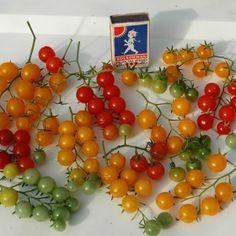 VINBÄRSTOMAT i gruppen Grönsaksväxter / Fruktgrönsaker / Tomat hos Impecta Fröhandel (9703)