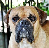 Buldogue campeiro – Wikipédia, a enciclopédia livre
