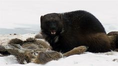 finally - some good eating ! wolverine eating a caribou in snow. Wolverine Images, Wolverine Animal, Black Bear, Brown Bear, Snowshoe Hare, Wolf, Outdoor Fireplace Designs, Honey Badger, Arctic Circle