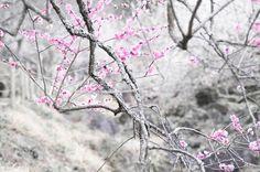 don't need many.  #つくば #うめ #梅 #ume #うめまつり #plumtree #flowers #東京カメラ部 #igersjp #team_jp_ #team_jp_flower #plum #blossoms
