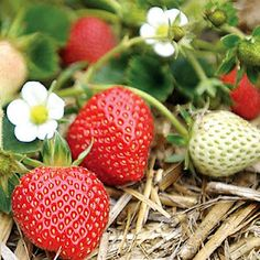 """Strawberry plants... The """"everbearing variety"""". YUM"""