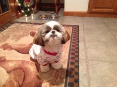 Shih tzu waiting for Santa