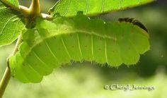 Luna Moth Catipillar