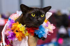 Burmese Cat, by Heikki Rantala