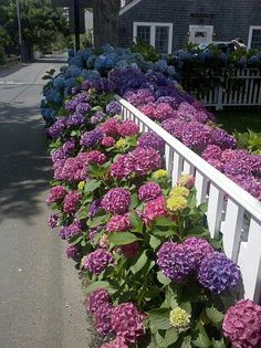 hydrangeas in front yard along picket fence... yay!