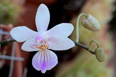 Moth-Orchid: Phalaenopsis lindenii