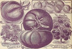 "Image from page 107 of ""Childs' rare flowers, vegetables & fruits for 1895"" (1895) 