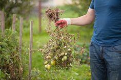 Jak ochránit rajčata před plísní? Držte je dál od brambor. A zkuste prášek do pečiva! | BydlímeKvalitně.cz Ard Buffet, Fruit, Mushrooms, Plants