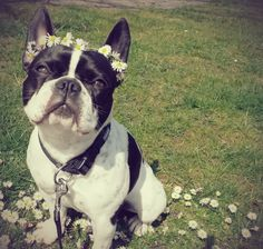 French Bulldog in a Spring Daisy Crown
