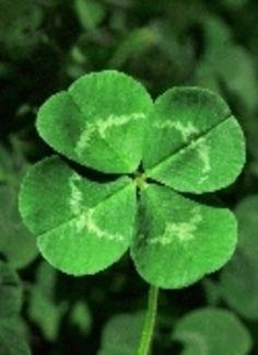 Le trèfle à quatre feuilles     Sa légende ici : http://www.les-vegetaliseurs.com/article-94135-lalegendedutrefleaquatrefeuilles.html