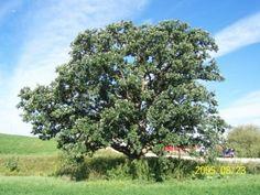 WindbreakTrees.com  Bur Oak
