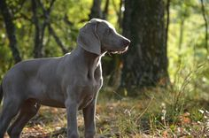 Forest, Puppy Dog Muzzle Animal Tenderness Sweet E Pet Dogs, Dogs And Puppies, Weimaraner Puppies, Dog Muzzle, Aggressive Dog, Girl And Dog, Hunting Dogs, New Puppy, Dog Training