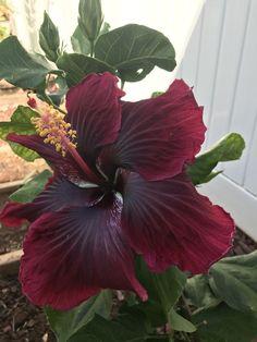 Black Dragon Hibiscus