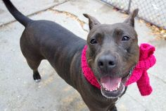 RETURN PERS PROBL!! SUPER URGENT Manhattan center NALA – A1006349 **RETURNED 11/05/16, SAFER: AVERAGE HOME*** SPAYED FEMALE, BLACK / WHITE, LABRADOR RETR / PIT BULL, 4 yrs OWNER SUR – AVAILABLE, HOLD RELEASED Reason PERS PROB Intake condition UNSPECIFIE Intake Date 11/05/2016, From NY 10305, DueOut Date 11/06/2016,