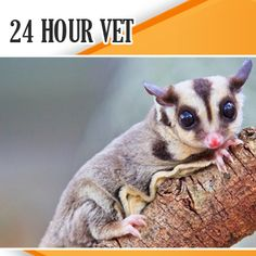Possum facts for kids sugar glider looking cute home workout plans to lose weight Sugar Glider Care, Sugar Gliders, Sugar Glider Toys, Possum Facts, Japanese Dwarf Flying Squirrel, Baby Animals, Cute Animals, Small Animals Pets, Sugar Bears