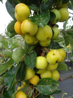 Crab Apple-Butterball