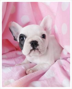 French Bull Dog Pup for sale