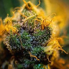 Blue Berries feminized marijuana seeds