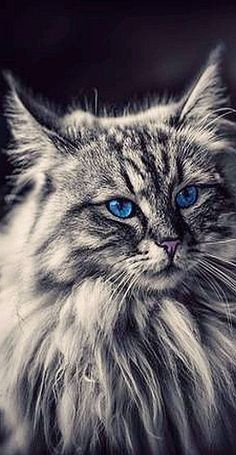 AMAZING fluffy CAT with blue Eyes by Pat Jimi Stauffer kitty kitten animal pet fur fluffy cute amazing long hair main coon norwegian forestcat Beautiful Cats, Animals Beautiful, Cute Animals, Cute Kittens, Cool Cats, Animal Gato, Rare Cats, Cat With Blue Eyes, Gatos Cats