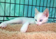 View Siamese for sale in San Francisco Lost Pets, Losing A Pet, Siamese Cats, Animal Rescue, Zen, Washington, Adoption, San Francisco, Creatures