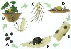 Monosporascus root rot and vine decline of melons. Monosporascus Root Rot and Vine Decline of Melons (MRR/VD). Also referred to as sudden wilt, sudden death, melon collapse, Monosporascus wilt, and black pepper root rot.  PATHOGEN: Monosporascus cannonballus Pollack & Uecker  HOSTS: Melon (Cucumis melo) and watermelon (Citrullus lanatus (Thunb.) Matsum & Nakai) are the principal economic hosts. Most other cucurbits, including cucumber (Cucumis sativus), bottle gourd (Lagenaria siceraria)…