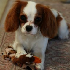 King Charles Spaniel. AKA: half of my Gizmo
