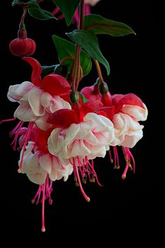 Photograph Fuchsia by Padma Inguva on 500px | Purely Inspiration