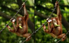 A three-month-old orangutan hangs onto a chain while holding a small bottle of orange juice and eating a banana at Ragunan zoo in Jakarta, Indonesia  Picture: Barcroft Media / Sinar Sakti Images