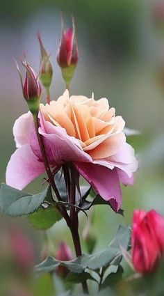 A beautiful flower for you my sweet darling Vylette Moon 🌺 I imagine it& Flores Bonitas de Papel Dibujo 💐 Flowers Nature, Exotic Flowers, Amazing Flowers, Love Flowers, Flowers Garden, Fall Flowers, Fresh Flowers, Pretty Roses, Beautiful Roses