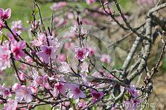 Ramifique Con Vector Rosado De Las Flores - Descarga De Over 46 Millones de…