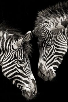 Zebra Love iPhone Wallpaper Full Size