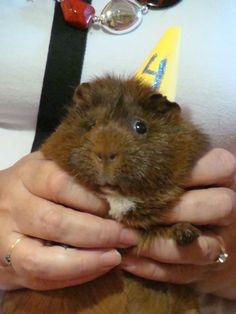 Guinea pig celebrating its birthday