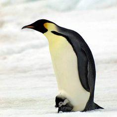 Emperor Penguin with Chick=Adorable!  'Frozen Planet' #FrozenPlanet #BBC #Penguin (http://pinterest.com/discovery)