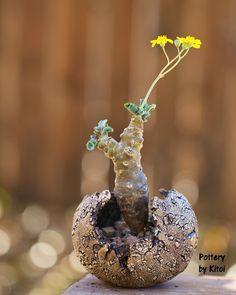Succulent Bonsai, Cacti And Succulents, Potted Plants, Cactus Plants, Plant Pots, Weird Plants, Rare Plants, Mini Bonsai, Succulent Arrangements